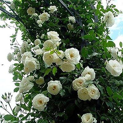 Dovlen 100 Pzas/Juego Rosal Trepador Semillas Perenne Aromático Jardín Hogar Planta Multiflora Flor Semilla - Blanco: Amazon.es: Hogar