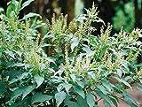 Ocimum gratissimum | West African Wild Clove Basil | 20_Seeds