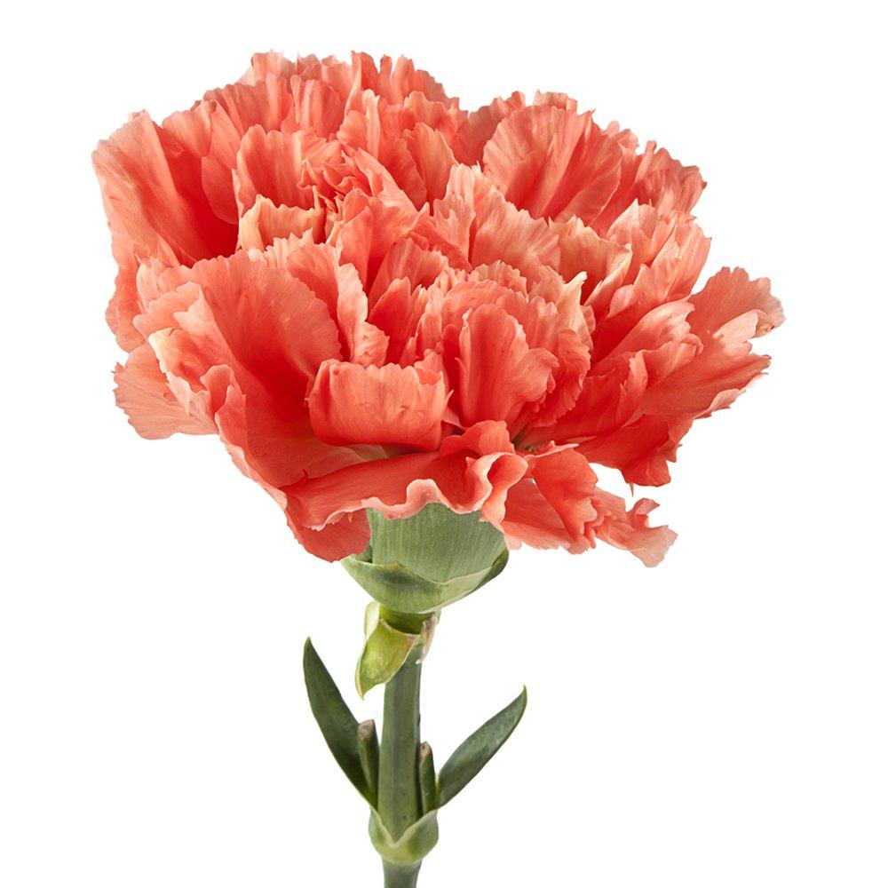 Wholesale Carnations (150 Orange) by BFFlowers.com