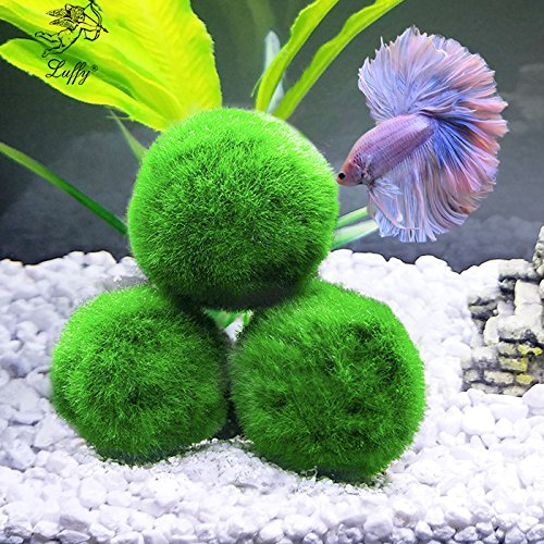 "Luffy 3 Giant Marimo Moss Balls (1.5"") : Biological, Natural, Chemical Free Filter System : Removes Nitrates : A Beautiful way to keep Fish and Aquarium Plants Healthy : No Water Change required"