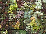 Collection of 9 Succulent Assorted Plants - Wedding, Guest Favors, Terrarium, Centerpieces, Gardens