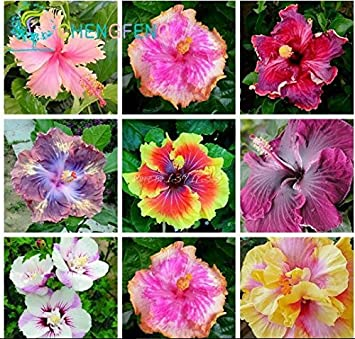 On Sale 400pcs Hibiscus Seeds 24kinds Hibiscus Rosa Sinensis