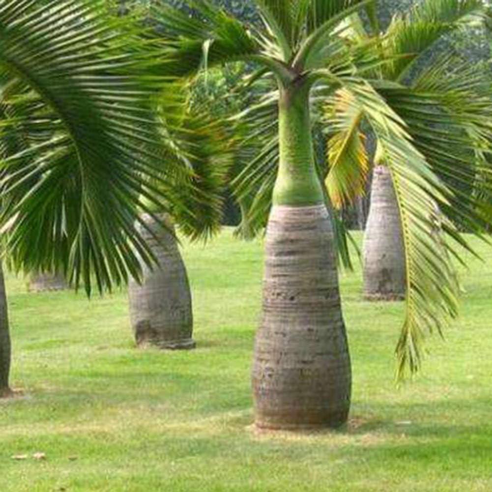 Catkoo Seed,100Pcs Bottle Palm Tree Seeds Bonsai Garden Tropical Ornamental Plant Decor Suitable Kitchen,Balcony,Living Room,Garden Decoration,Christmas Decoration Palm Tree Seeds