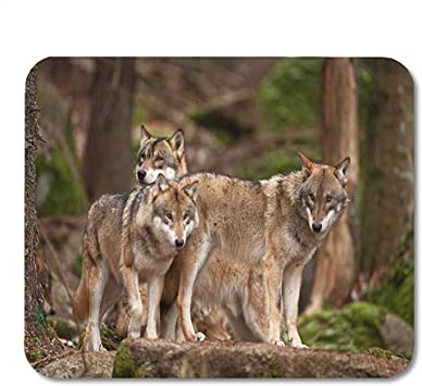 Animal Pack Grey Wolf Grey Canis Lupus Europa Bohemia Funny ...