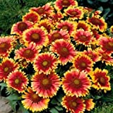 Blanket Flower- Gaillardia- 100 Seeds