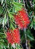 Crimson Bottlebrush Seeds (40 Seeds)