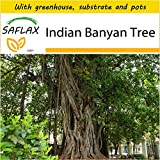 SAFLAX - Potting Set - Indian Banyan Tree - 20 Seeds - Ficus benghalensis