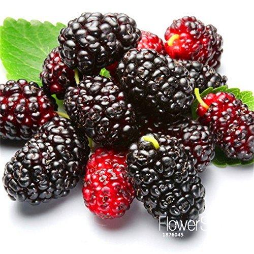 Sale!10PCS/Pack mulb erry bags Mulberry fruit seeds DIY home bonsai Morus Nigra Tree, black mulberry seeds plants,#WHT9IQ