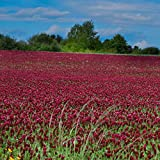 Outsidepride Crimson Clover Seed: Nitro-Coated, Inoculated - 10 LBS