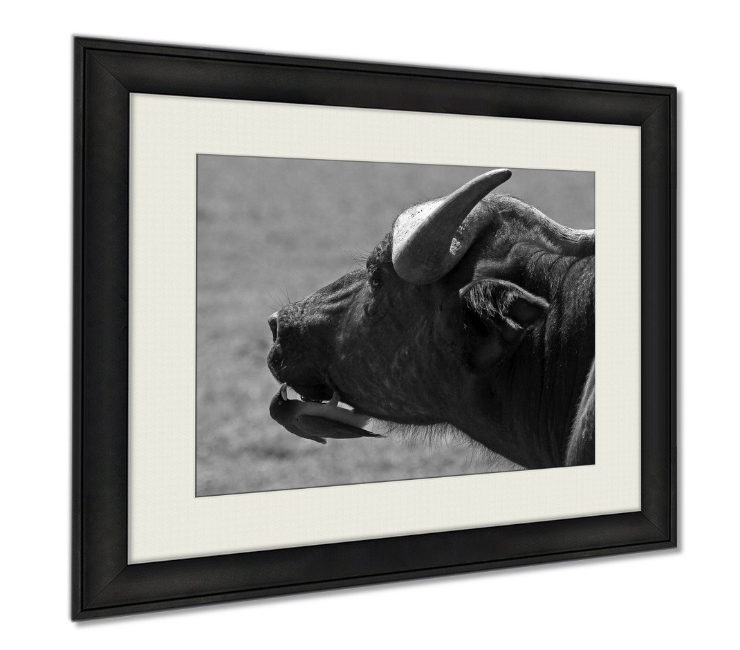 Ashley Framed Prints Close Up Of An African Buffalo Face With A Small Oxpecker Perched On Its Chin, Wall Art Home Decoration, Black/White, 26x30 (frame size), AG6338362