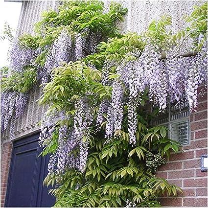 FastDirect Semillas de Wisteria 10 PCS Semillas de Arboles Semillas de Flores para Jardin, Huerto, Patio