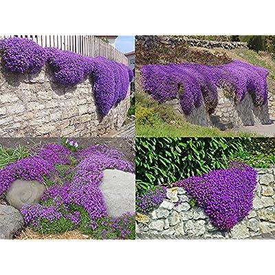 ADB Inc Cascade Purple Aubrieta Flower Seeds : Garden & Outdoor