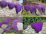 ADB Inc Cascade Purple Aubrieta Flower Seeds
