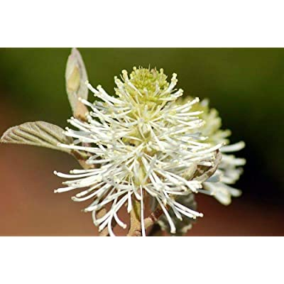"AchmadAnam - 4"" Pot - Mount Airy Bottlebrush Shrub - Fothergilla gardenni - Hardy : Garden & Outdoor"