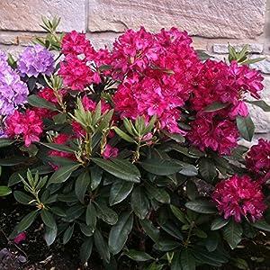 """Dominik Blumen und Pflanzen, Rhododendron-Hybride  """"Nova Zembla"""", 1 Pflanze, 20 - 30 cm hoch, 2 Liter Container,  winterhart, plus 1 Paar Handschuhe gratis"""