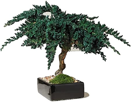 Jardín Zen preservar Bonsai árbol 12 cm: Amazon.es: Hogar