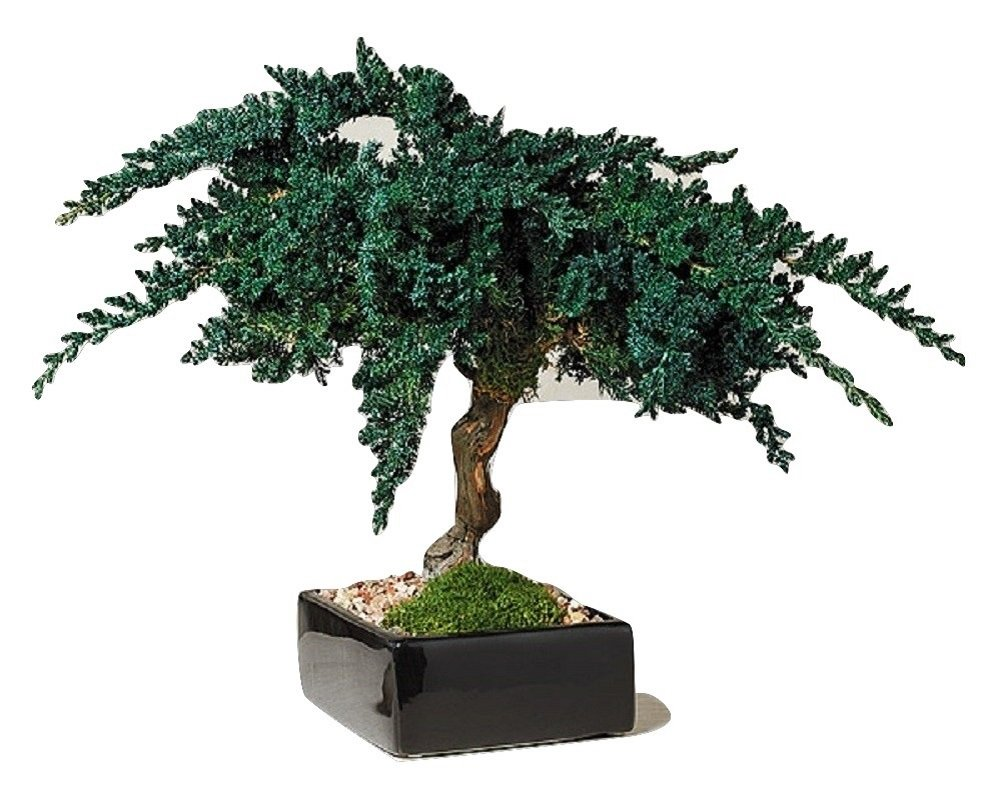 Zen Garden Preserved Bonsai Tree 12'' tall