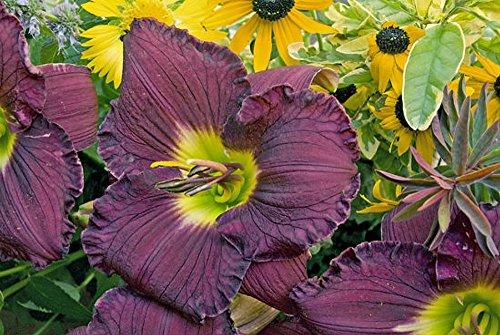 Rainbow Rhythm Nosferatu Daylily - Hemerocallis -Gallon Pot - Proven Winners (Daylilies Evergreen Semi)