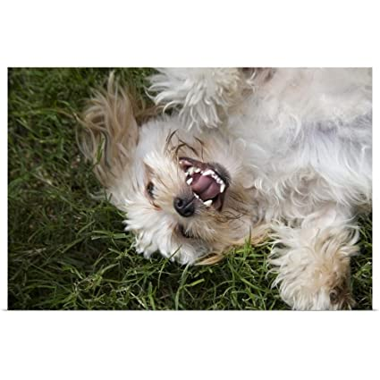 Amazoncom Great Big Canvas Poster Print Entitled Shih Tzu Playing