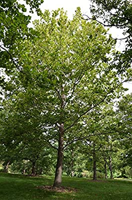 American Sycamore Tree - Plananus occidentalis - Healthy Established Roots - One Trade Gallon - 1 Plant by Growers Solution