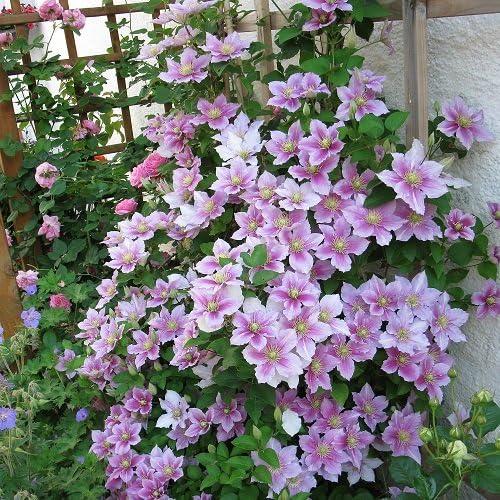 2 Clematide Piilu (para jardin, balcón y patio) – Maceta de 1.5 ...