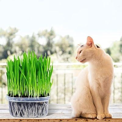 Bornbayb 3 Pack Organic Wheatgrass Cat Grass Seeds(Includes Trays, Soil, Wheat Grass Seeds) : Garden & Outdoor