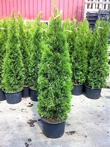 1 Pflanze Thuja Occidentalis Smaragd Kraftiger Jung Baum Im