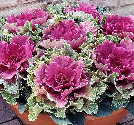 Amazon Com 30 Ornamental Cabbage Seeds Colorful Flower Kale