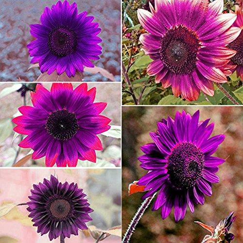 50pcs Purple Rare Sunflower Mixed Seeds Bonsai Charming Potted Annuus Helianthus Garden Flower Plant for Home Garden Planting