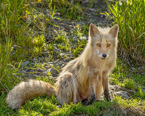 Red Fox Fine Art Photograph, Animal Photography, Fox Wall Art, Animal Art Print, Nursery Wall Decor, Wildlife Wall Decor
