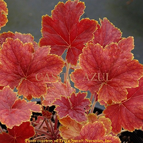 (heuchera DELTA DAWN unique orange red coral bells 2.5