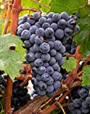 "Amazing Pixie Cabernet Franc Grape Vine Plant -2.5"" Pot- World's 1st Dwarf Grape"