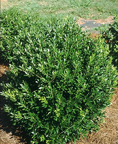 "Shamrock Inkberry Holly - 4"" pot - Ilex glabra"