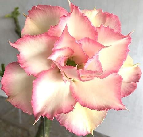 Amazon com : B04-Moon Light, Desert Rose Adenium Obesum