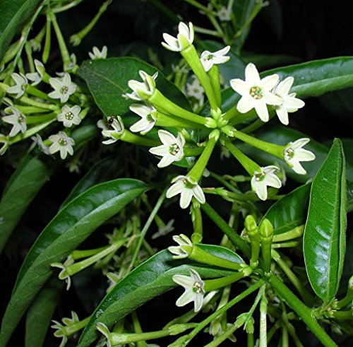 Hirt's Night Blooming Jasmine Plant - Cestrum nocturnum
