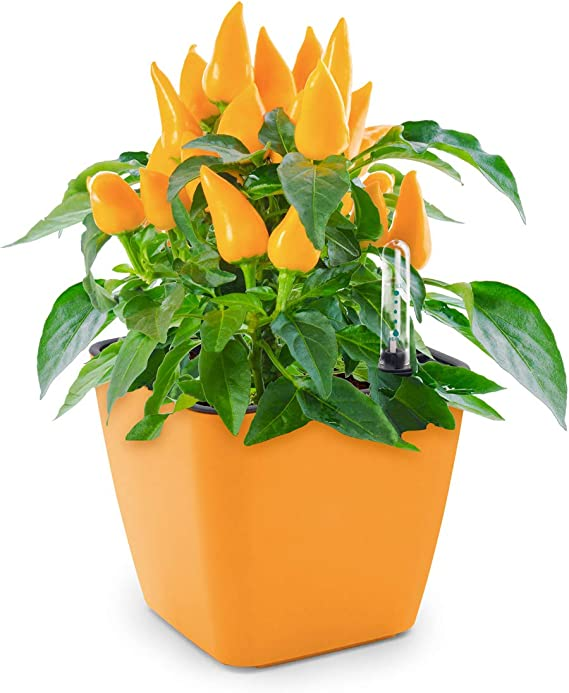 Domestico Kit de Habanero para cultivar, Habanero growing kit, All ...
