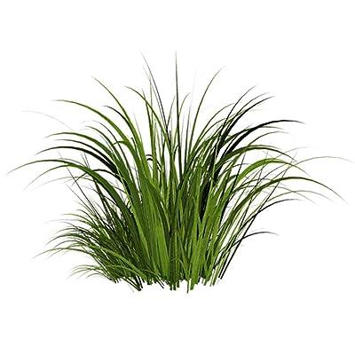 Lemongrass 100 Seeds - Cymbopogon Flexuosus, Citronella Plant, Cochin/Malabar Grass, Mosquito Repellent Perennial Grass, Lemon Grass Plants Seeds for Planting : Garden & Outdoor