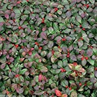 300 seeds - Wintergreen Seeds - Beautiful Ground Cover - Perennial - Gaultheria Procumbens !