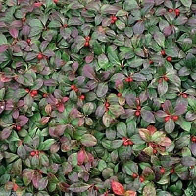 300 seeds - Wintergreen Seeds - Beautiful Ground Cover - Perennial - Gaultheria Procumbens !
