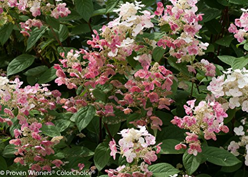 Quick Fire? Hydrangea paniculata - Early Bloomer - Hardy - Proven Winners by Hirts: Trees & Shrubs; Hydrangea