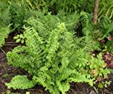 1 Strater Plant of Dryopteris Filix-Mas 'Parsley' - Male Fern