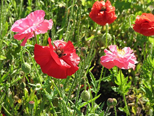 Poppy, Poppies - Shirley Mix, Corn Poppy Flower - 595 Seeds! Groco (Shirley Mix)