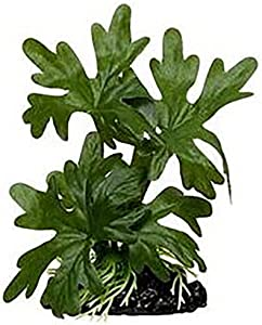 Aquarium Masters Amazon Evergreen Betta Plant - Great for Betta Fish and Use with Blue Spotted Betta Leaf Pad & Betta Log