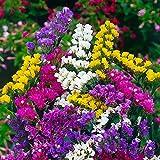 Kermek Limonium Sinuatum Flower Seeds from Ukraine