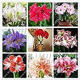 ChinaMarket 100pcs/bag Amaryllis Seeds Hippeastrum Seeds Mix (not amaryllis bulbs) Lily Flower Seeds