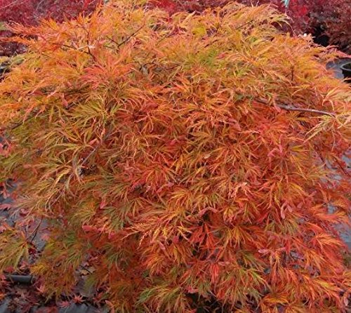 Orangeola Weeping Laceleaf Japanese Maple - Live Plant - Trade Gallon Pot by New Life Nursery & Garden (Image #3)