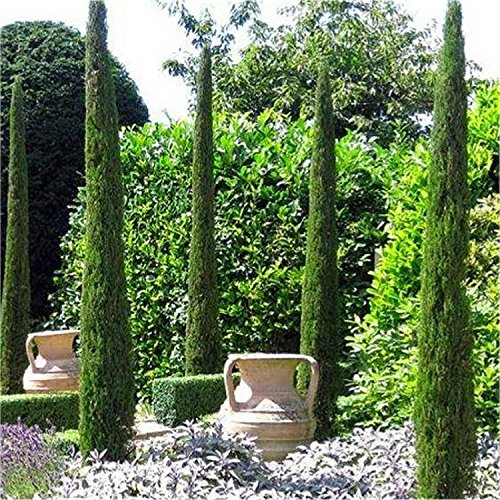 Pair of Van Gogh Tuscan Totem Pole Cypress Trees - Cupressus ...