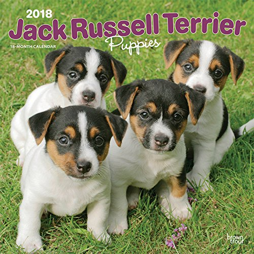 Jack Russell Terrier Puppies 2018 12 x 12 Inch Monthly Square Wall Calendar, Animals Dog Breeds Terriers (Multilingual Edition)