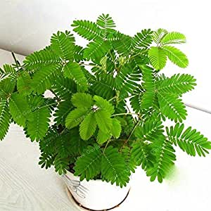 Foliage Mimosa Pudica Sensitive Bonsai Plant Home Garden Swansgreen Hot Sales 30Pcs Bashful Grass Seeds Mimosa Pudica Linn
