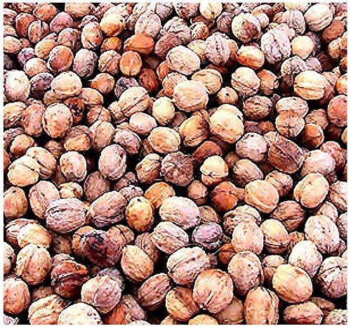 5-x-english-walnut-juglans-regia-tree-seeds-excellent-shade-tree-with-edible-rich-flavored-nuts-by-m